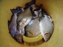 ピラニア釣り (3)-s.jpg